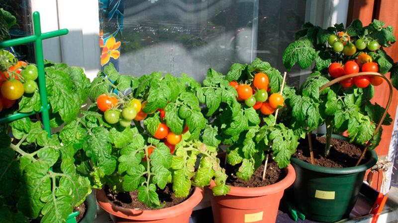 vyrashhivanie-pomidorov-na-balkone7