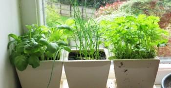 Зелень на подоконнике. Как вырастить на подоконнике лук, салат, петрушку, укроп, щавель, базилик, розмарин, шпинат