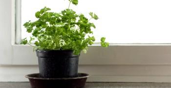 Петрушка на подоконнике. Как вырастить петрушку зимой и летом