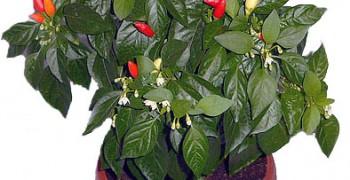 Перец на подоконнике. Выращивание из семян зимой и летом